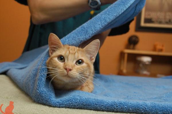 Как избавиться от ушного клеща у кошки