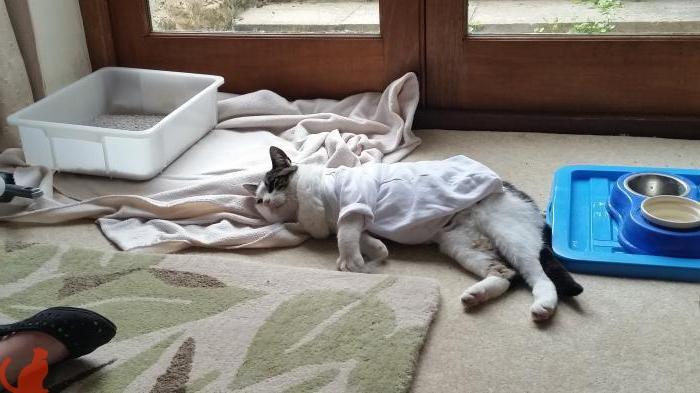 Как правильно подготовить кошку к стерилизации