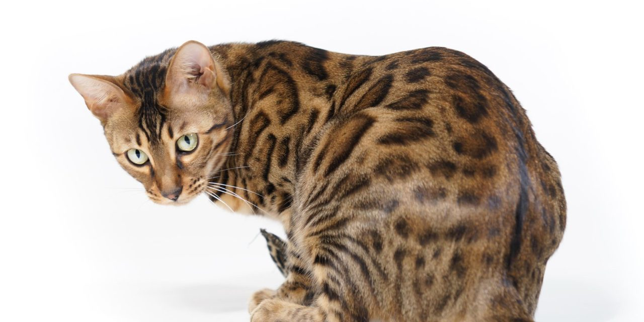 https://kotofan.ru/wp-content/uploads/bengal-cat-looking-back-1335152-1280x640.jpg