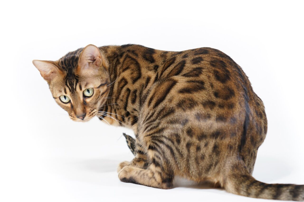 https://kotofan.ru/wp-content/uploads/bengal-cat-looking-back-1335152-1280x853.jpg