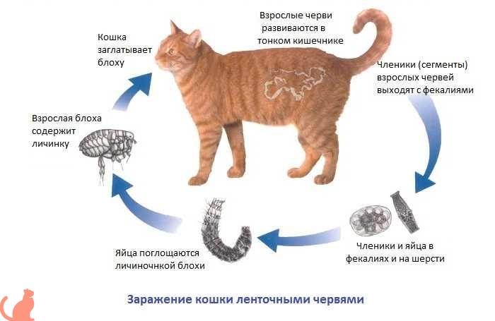 Чем опасны нематоды для кошки
