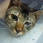 Что делать если у кошки катаракта