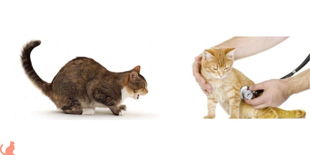 Позы больной кошки
