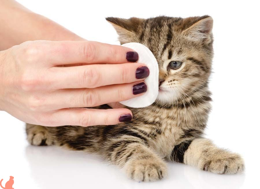 Как правильно протереть глаза кошке