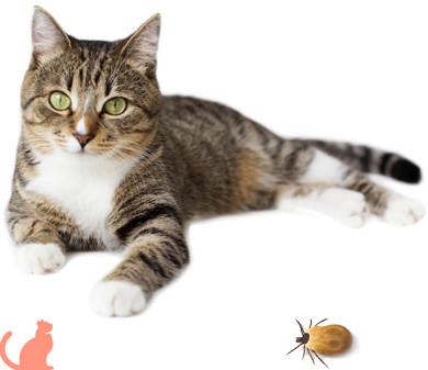 Как бороться с чесоткой у кошек