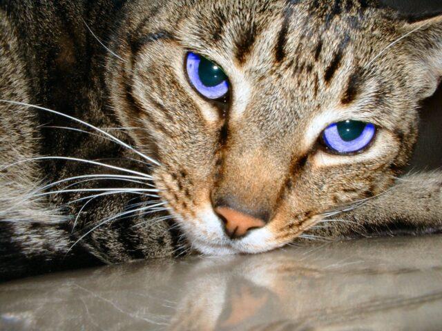 В каком возрасте у котят меняется цвет глаз?