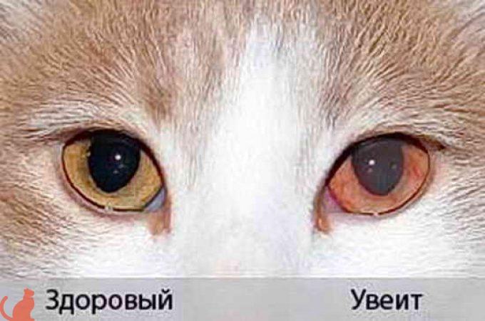 Конъюнктивит у животных