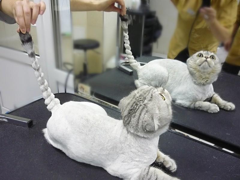 Как правильно подстричь кошку машинкой