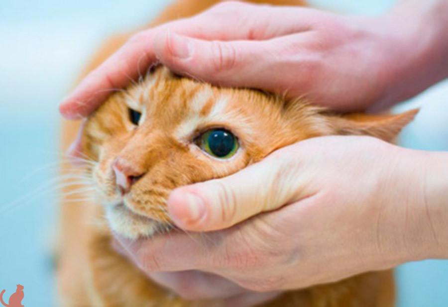 Последствия калицивироза у кошек