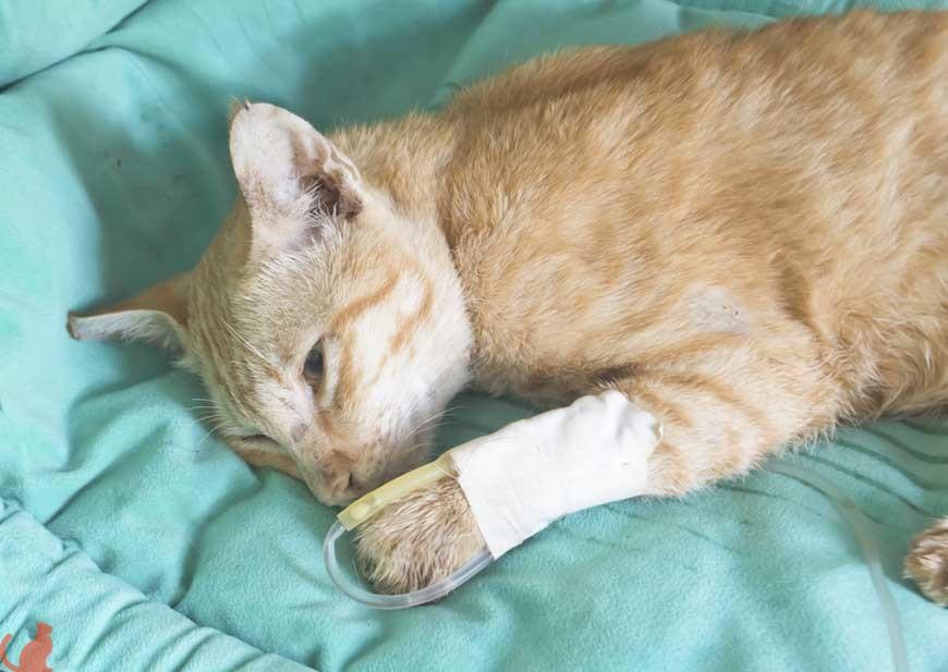 Повреждение прямой кишки у кота