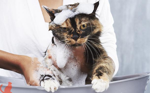 Как часто и при какой температуре купают котов