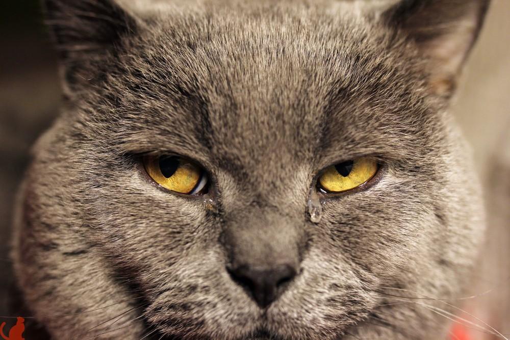 Слезиться глаза у котенка британской породы