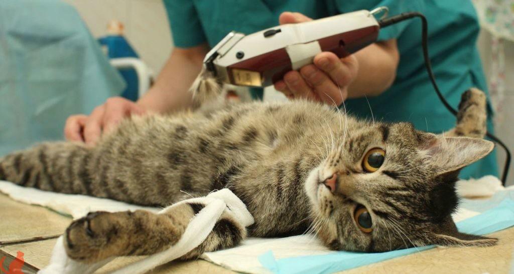 Как происходит стерилизация кошек и зачем она нужна