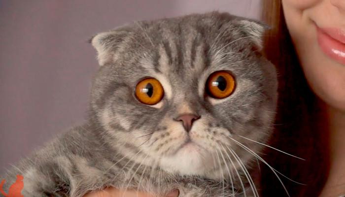 У шотландского котенка слезятся глаза